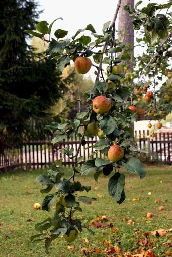 Hea ja kurja tundmise puu